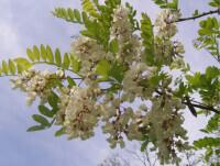 Robinia Pseudoacacia - Holzhof:: Parchi Gioco - Arredo Urbano